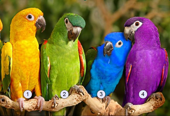 perroquet2